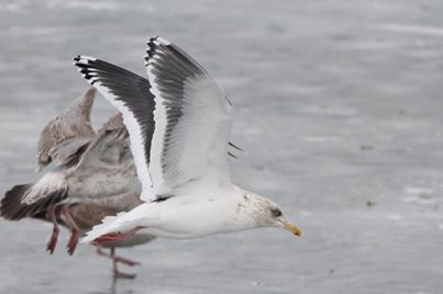 Slaty-backed gull in Lake County, IL (photo by Michael Retter)