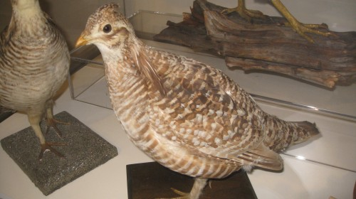 Heath hen, a New England endemic last seen in early 1930s.