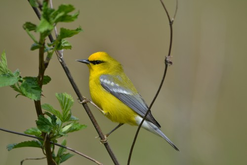 Blue-winged warbler at Mary Gray Sanctuary (photo by Scott Arvin).