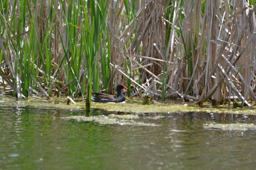 Common gallinule at Mary Gray (photo by Scott Arvin)