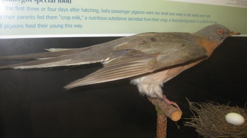 Passenger pigeon on display at Joseph Moore Museum at Earlham College.