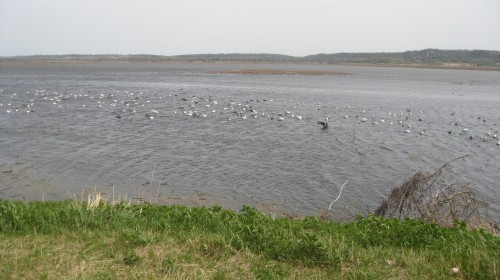 Lingering snow geese at Squaw Creek.