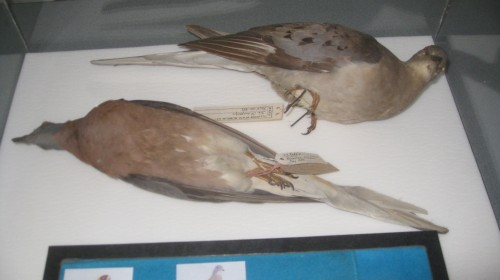 Passenger pigeons from the Illinois State Museum collection attending my talk.