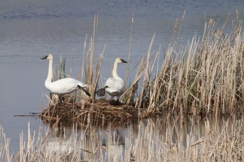 Trumpeter swans at Tamarac National Wildlife Refuge (photo by Carrol Henderson)