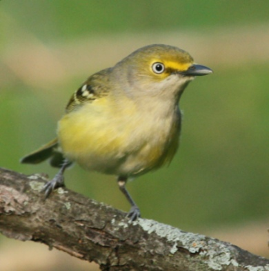 White-eyed vireo (photo by John Cassady)