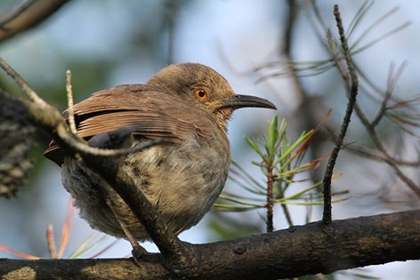 Curve-billed thrasher at  Montrose (photo by Geoff Williamson).
