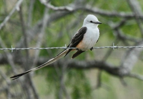 Scissor-tailed flycatcher (Photo by John Cassady)