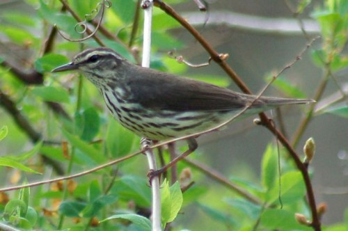 Northern waterthrush (John Cassady)