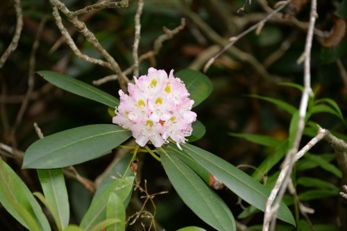 Great rhododendron, which we frequently encountered in the mountains.