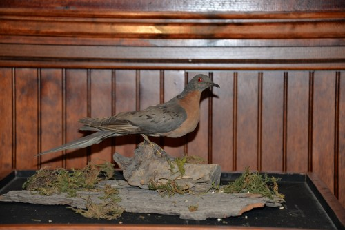 Passenger pigeon at Little Traverse History Museum.
