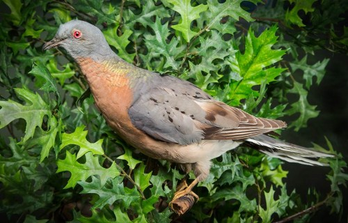 The Heard Museum's passenger pigeon.