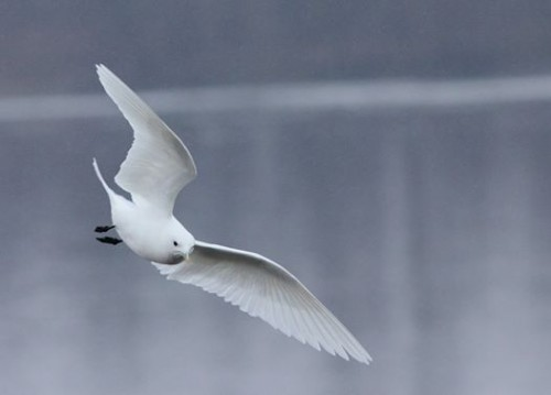 Adult ivory gull at Quincy, IL. (Photo by Ethan