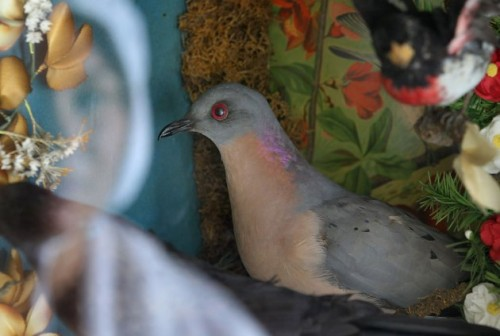 Passenger pigeon on loan to Essex Region Conservation Authority.