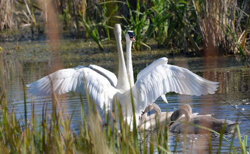 Family of trumpeter swans, a conservation success story.