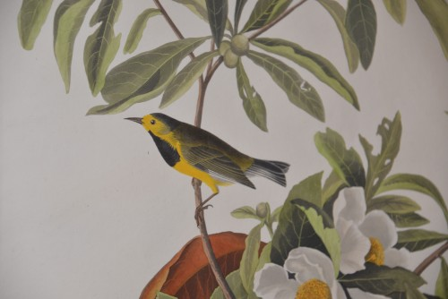 Bachman's warbler by John James  Audubon at Smith Art Museum at Auburn University.