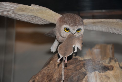Saw-whet owl carving at Birds of Vermont Museum.