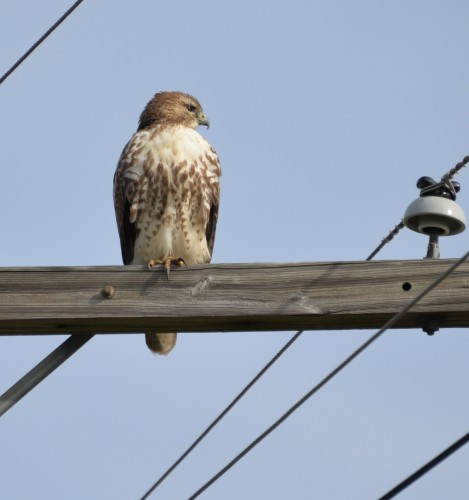 Red-tailed hawk in Adams County.