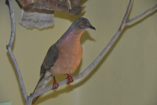 Passenger pigeon at Buffalo Museum.