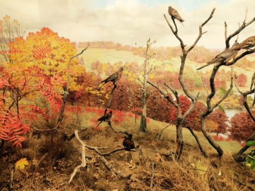 Passenger pigeon diorama at Denver Museum of Nature and Science.