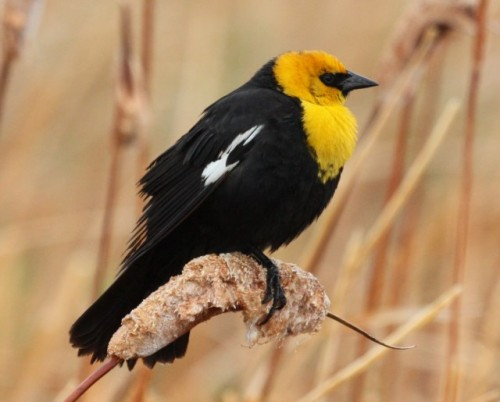 Yellow-headed blackbird (photo by John Cassady)