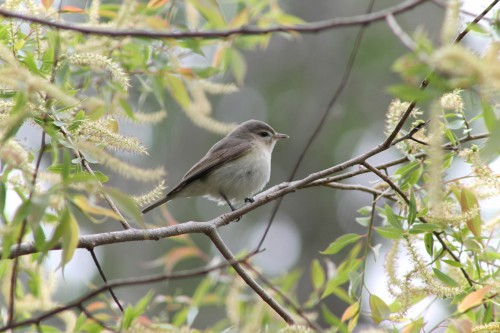Warbling vireo at Magee Marsh. (Photo by Benjamin Prouse)