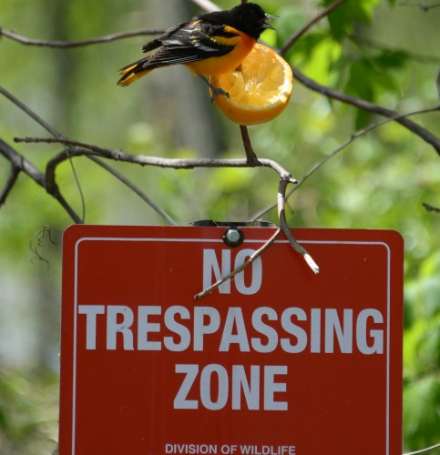 Baltimore oriole at Magee Marsh.