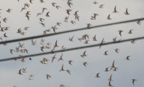 Dunlins and utility wires.
