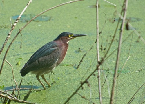 Green heron at Magee Marsh (Justin Peter)