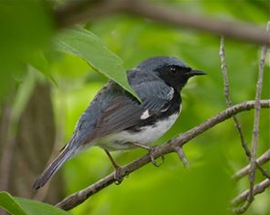 Black-throated blue warbler at Magee Marsh (Photo by Barbara Jablonski)