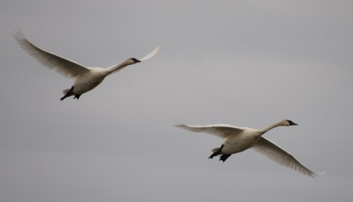Trumpeter swans at Union Slough NWR.