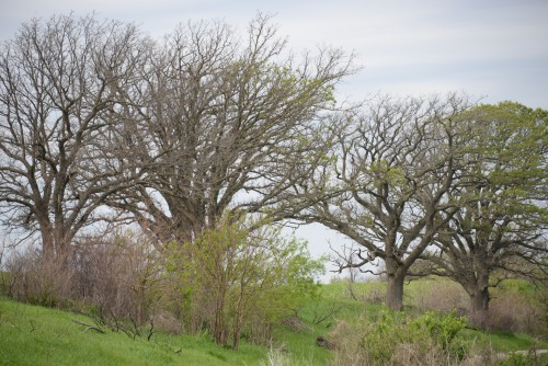 Burr oaks at Union Slough.