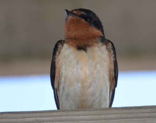 Barn swallow.