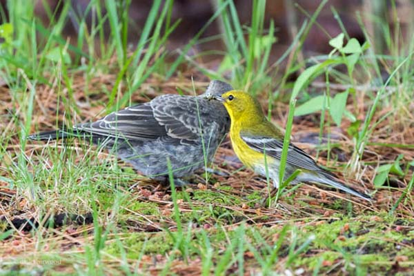 Pine Warbler and young Brown-headed Cowbird