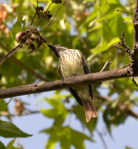 Sulfur-bellied Flycatcher