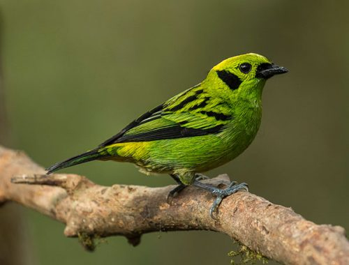 Emerald Tanager. © Glenn Bartley