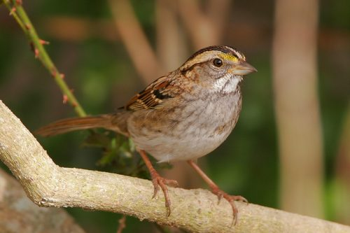White-throated Sparrow with tan eye line