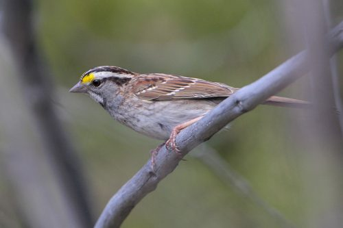 White-throated Sparrow with white eye line