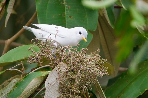 Yellow-billed Cotinga