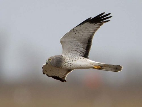Male Northern Harrier in flight.