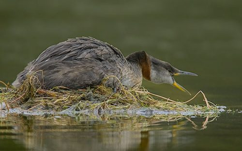 Red-necked Grebe guarding nest.