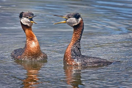 Red-necked Grebe displaying.