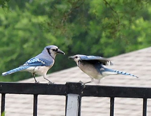 Adult feeding young blue jay.
