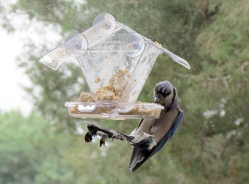 Blue Jay at window feeder.