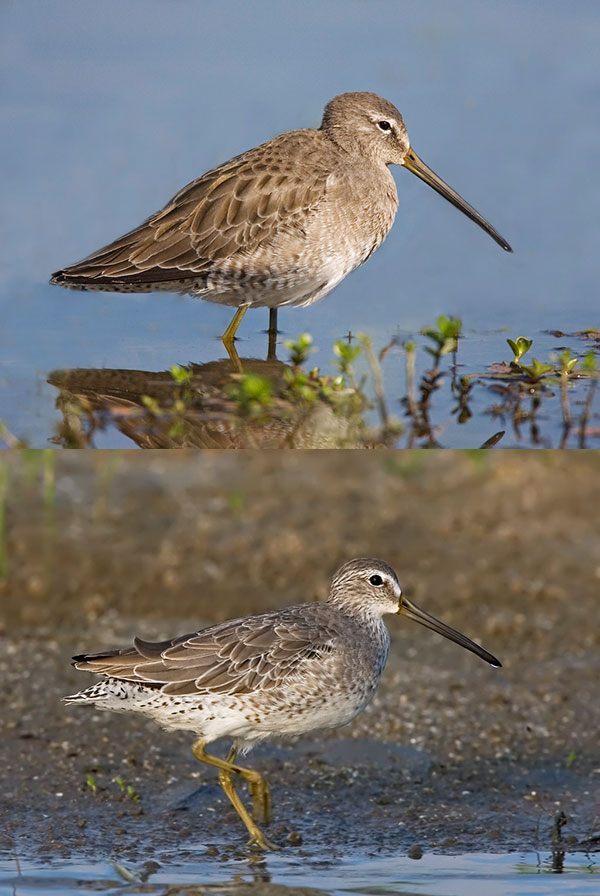 Long-billed and Short-billed Dowitchers.