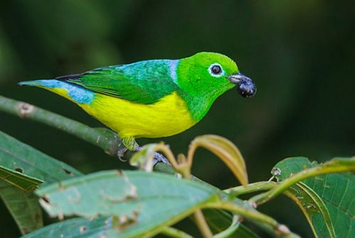 blue-naped-chlorophonia-550