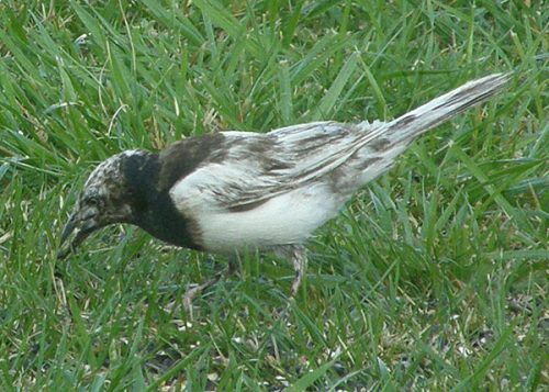Leucistic grackle