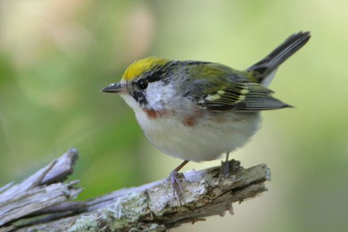 Female Chestnut-sided Warbler.