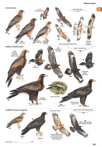 raptor images for the new australian bird guide