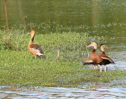 Fluvous (left) and Black-bellied Whistling Ducks.