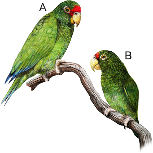 How to Feed an Amazon Parrot
